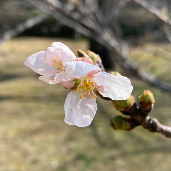 桜が開花しました🌸
